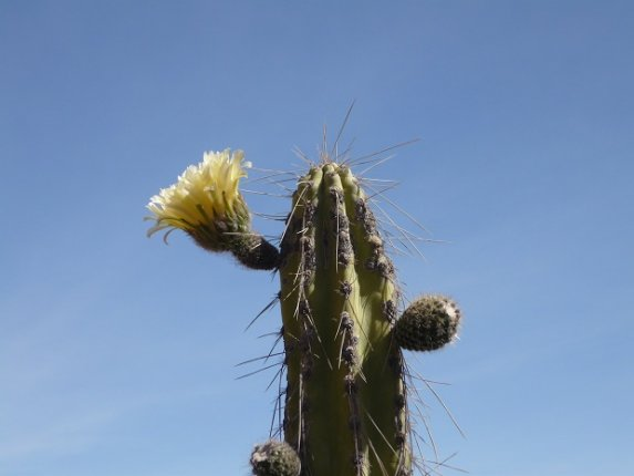Cactus Flower in Colca Canyon